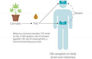 How cannabis increases appetite by binding to receptors in the body