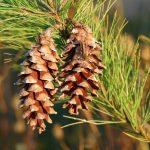 Pine Cones tree